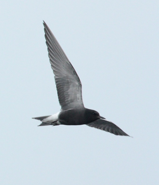 Black Tern (breeding adult) photo #1
