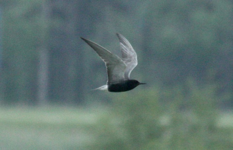 Black Tern (breeding adult) photo #2