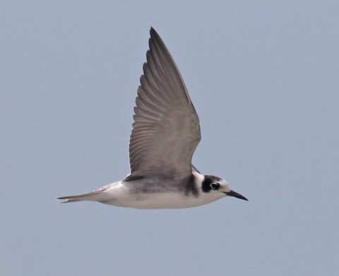 Black Tern (juvenile in flight) photo #3
