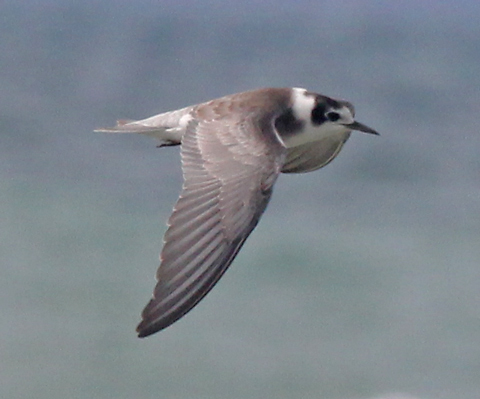 Black Tern (juvenile in flight) photo #1