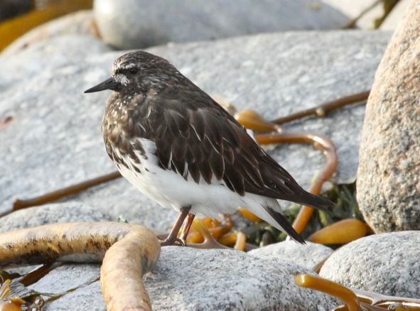 Black Turnstone photo #3