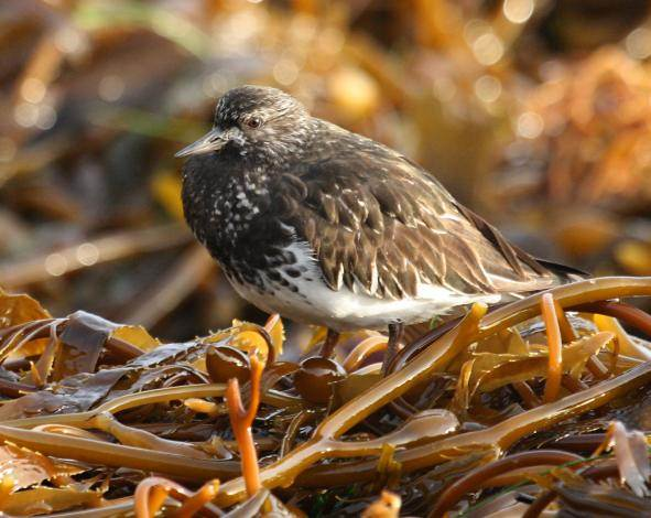 Black Turnstone photo #4