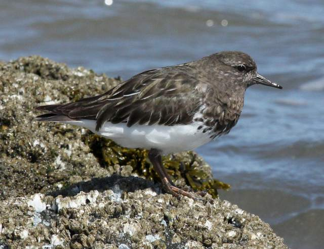 Black Turnstone photo #1