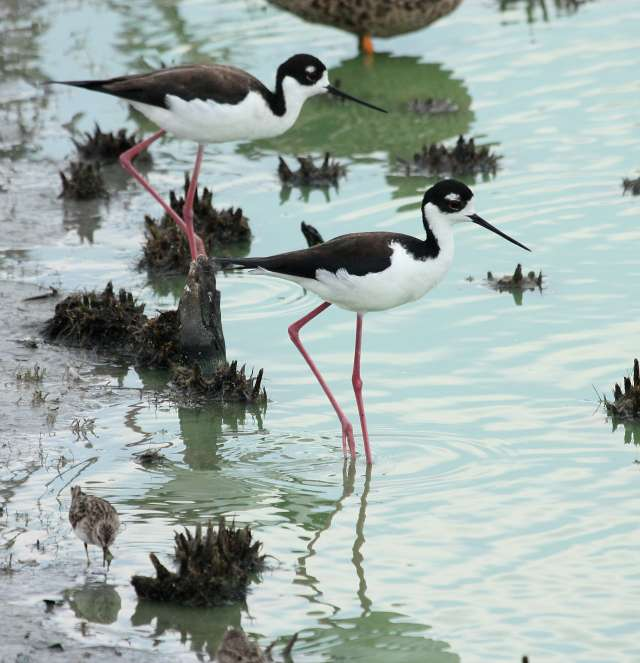 Black-necked Stilt photo #4