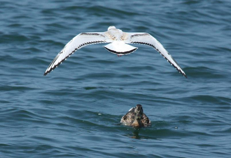 Bonaparte's Gull (juvenile in flight)