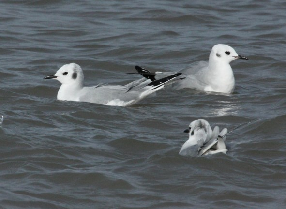 Bonaparte's Gull (non-breeding adult)