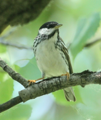 BLackpoll Warbler (spring male) photo #3