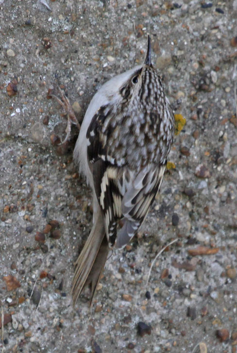Brown Creeper photo #1