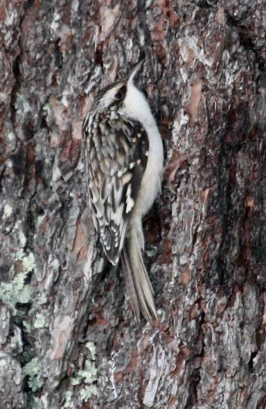 Brown Creeper photo #2