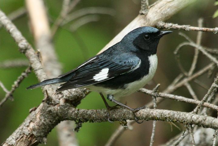 Black-throated Blue Warbler (spring adult male)