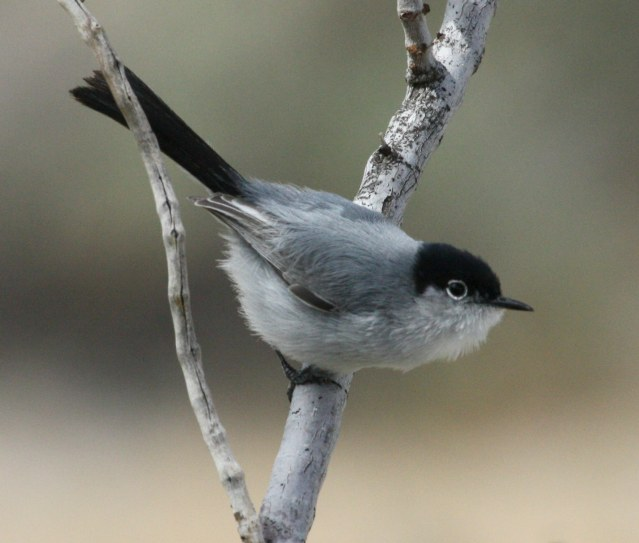 Black-tailed Gnatcatcher photo #1