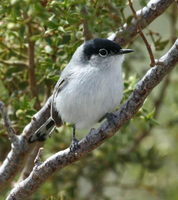 Black-tailed Gnatcatcher photo #2