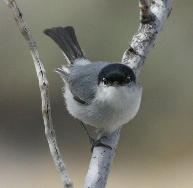 Black-tailed Gnatcatcher photo #3