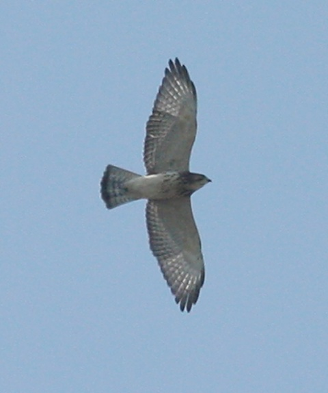 Broad-winged Hawk photo #1