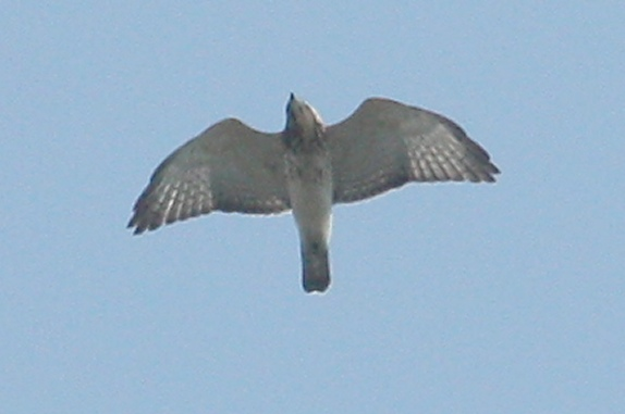 Broad-winged Hawk photo #3