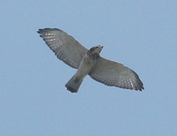 Broad-winged Hawk photo #2