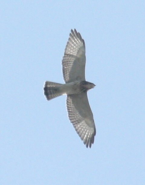 Broad-winged Hawk photo #4