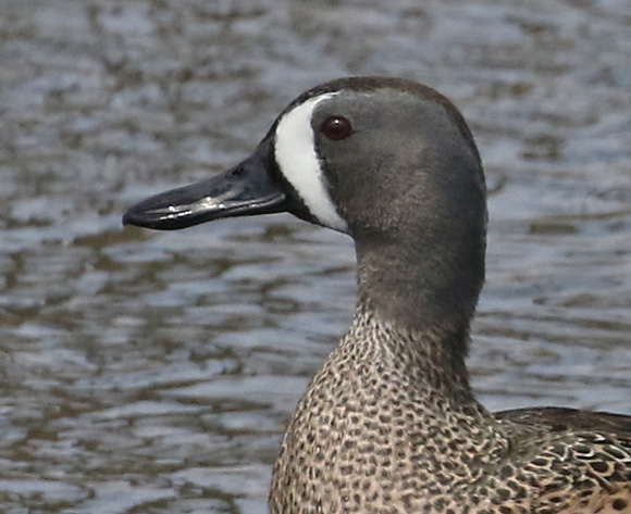 Blue-winged Teal photo #2