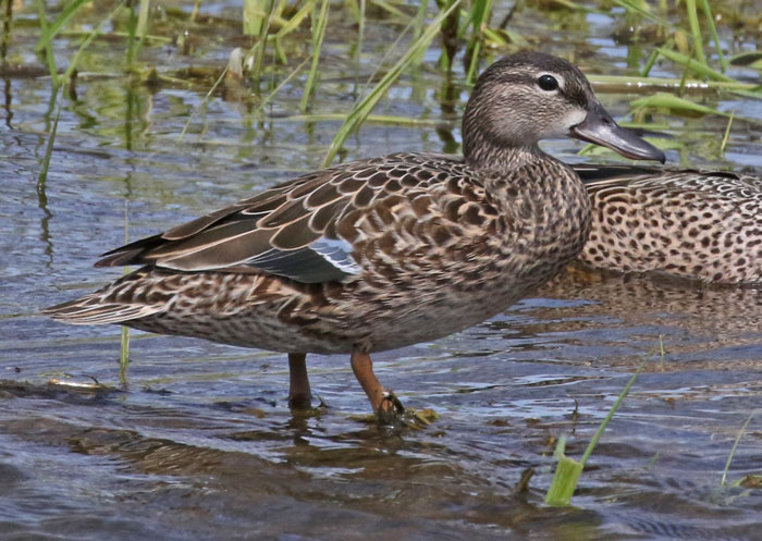 Blue-winged Teal photo #4