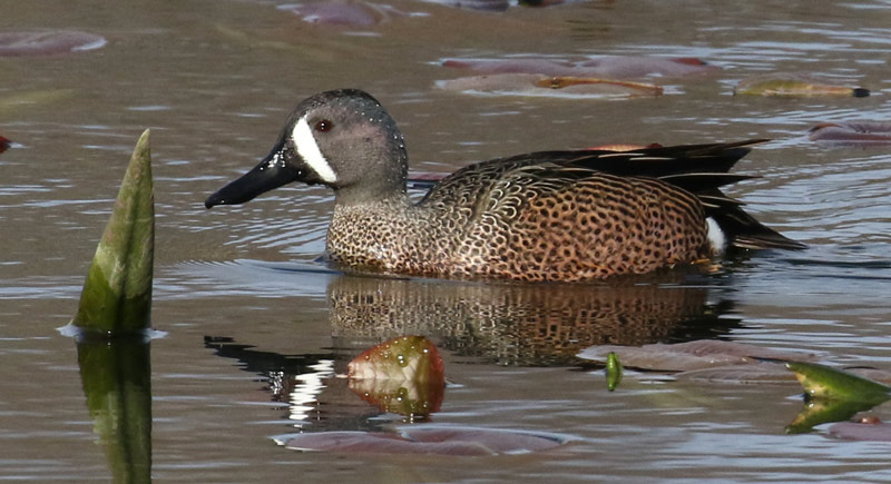 Blue-winged Teal photo #6