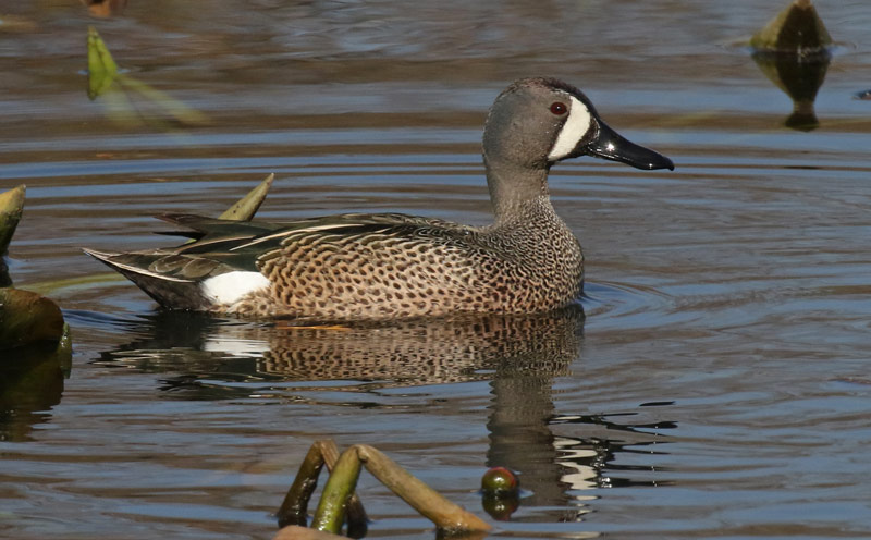 Blue-winged Teal photo #8