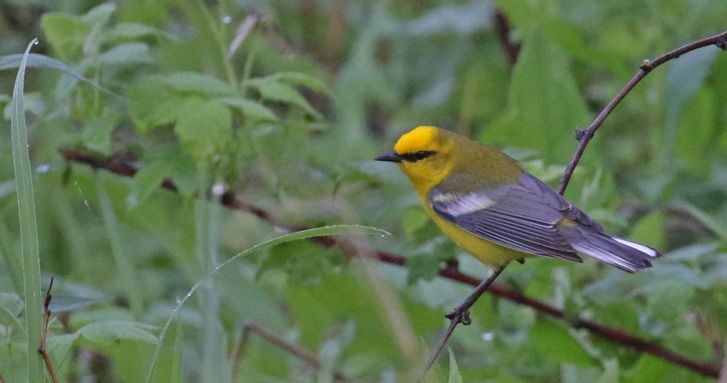 Blue-winged Warbler photo #1