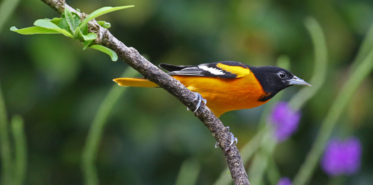 Baltimore Oriole (adult male)