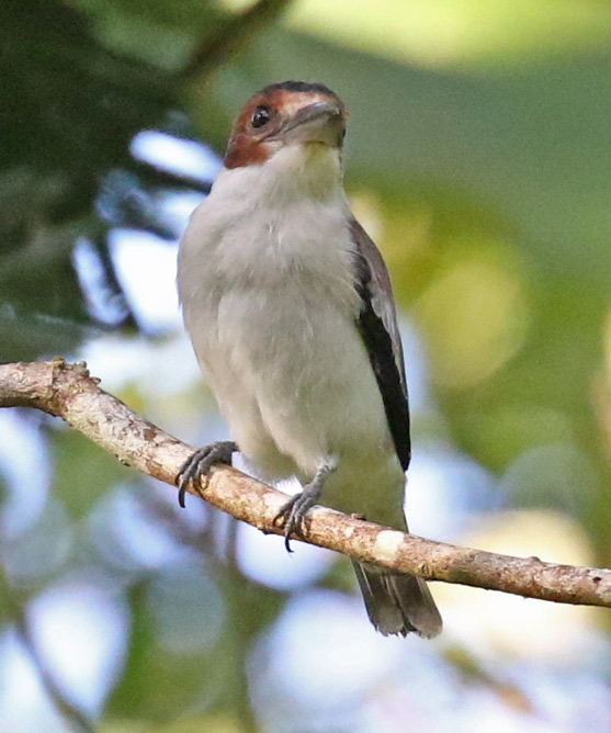 Black-crowned Tityra (female)