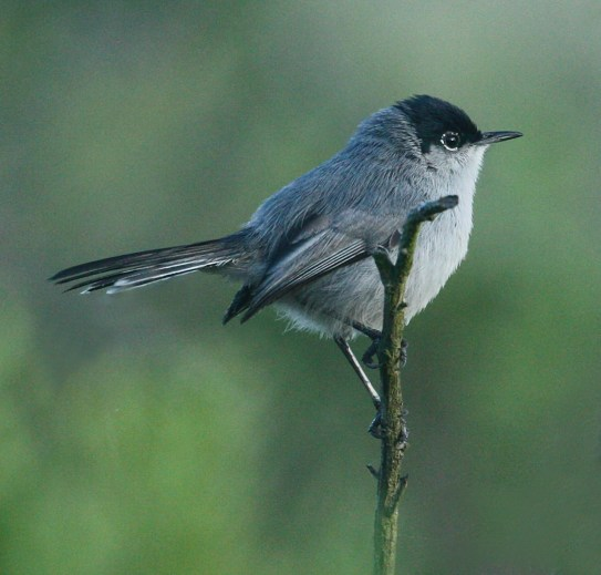 California Gnatcatcher photo #1