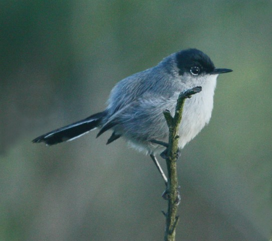 California Gnatcatcher photo #2