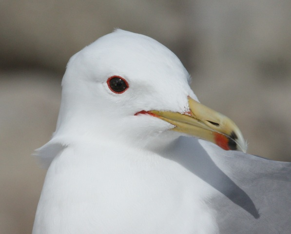 California Gull (adult)