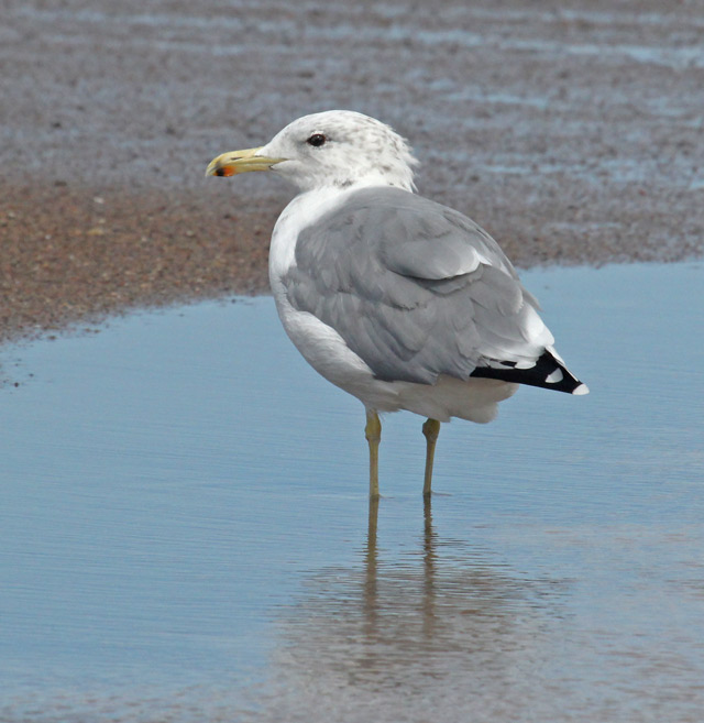 California Gull (summer adult) photo #1