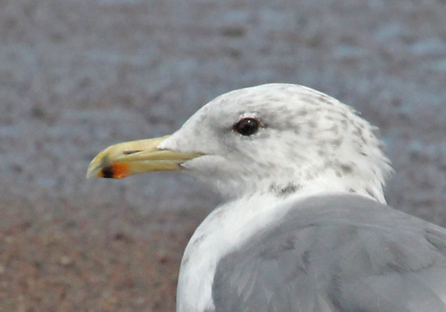 California Gull (summer  adult) photo #3
