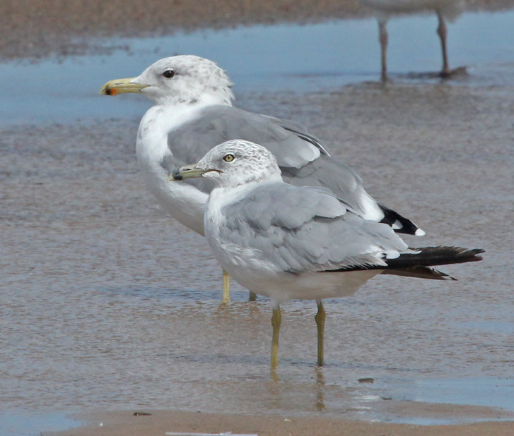 California Gull (summer  adult) photo #2