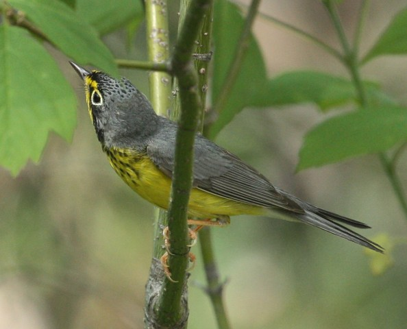 Canada Warbler photo #8