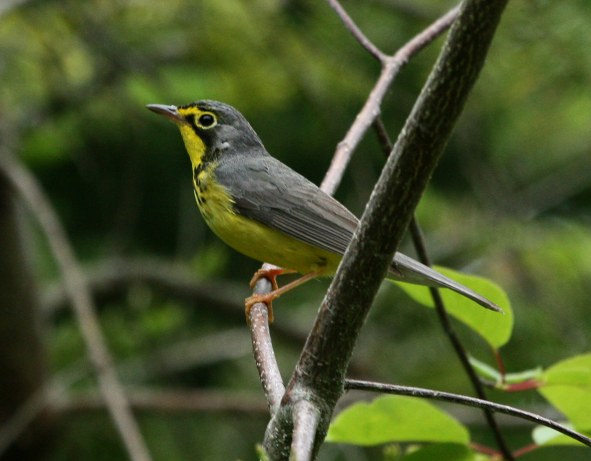 Canada Warbler photo #4