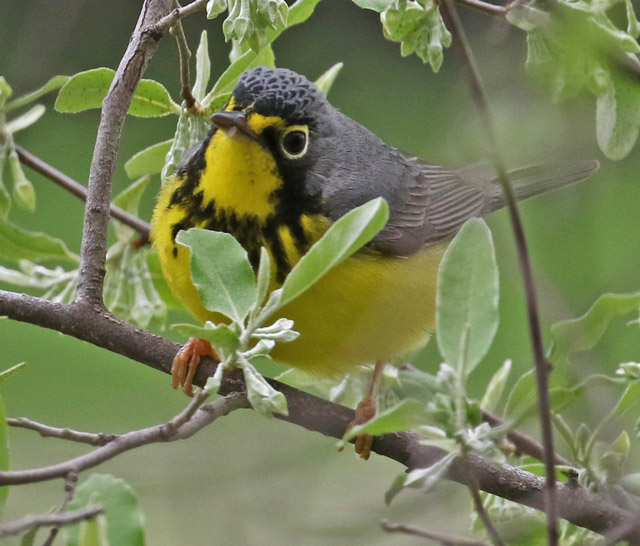 Canada Warbler photo #1