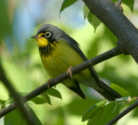 Canada Warbler photo #2