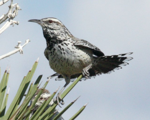 Cactus Wren photo #1