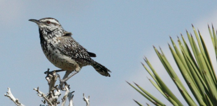 Cactus Wren photo #2
