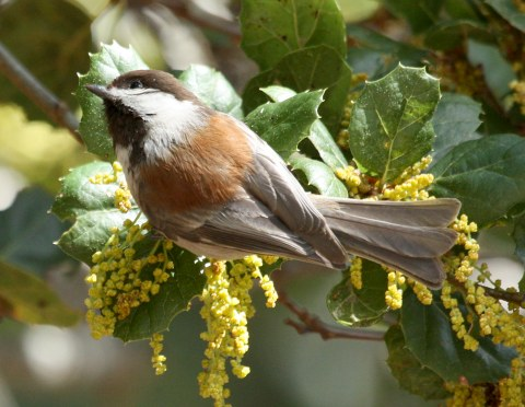Chestnut-backed Chickadee photo #3