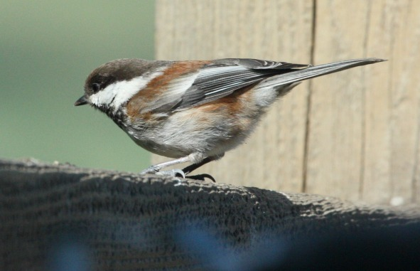 Chestnut-backed Chickadee photo #2