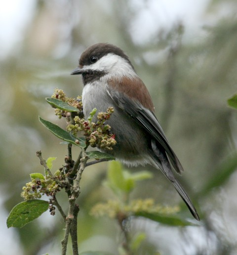 Chestnut-backed Chickadee photo #1