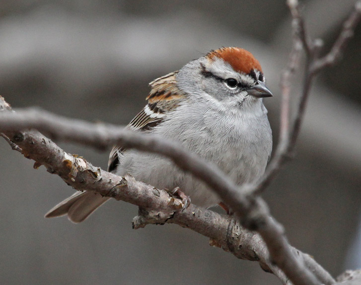 Chipping Sparrow Photo 1