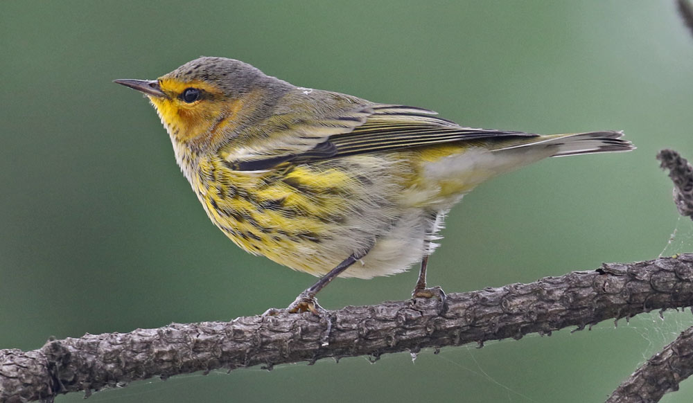 Cape May Warbler (fall adult male)