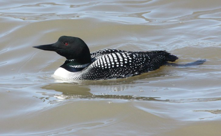 Common Loon photo #1