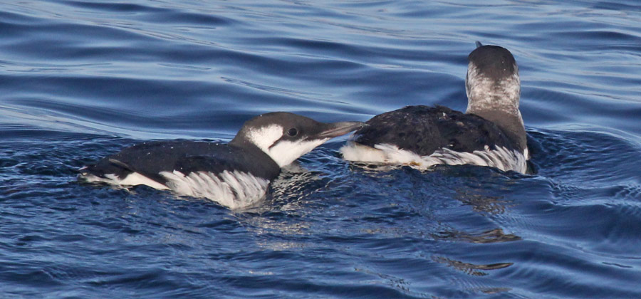 Common Murre (nonbreeding adult)