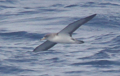 Cory's Shearwater photo #3