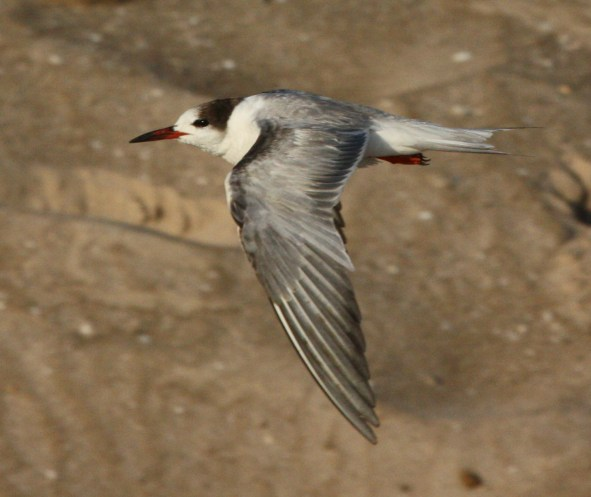 Common Tern (1st summer) photo #1