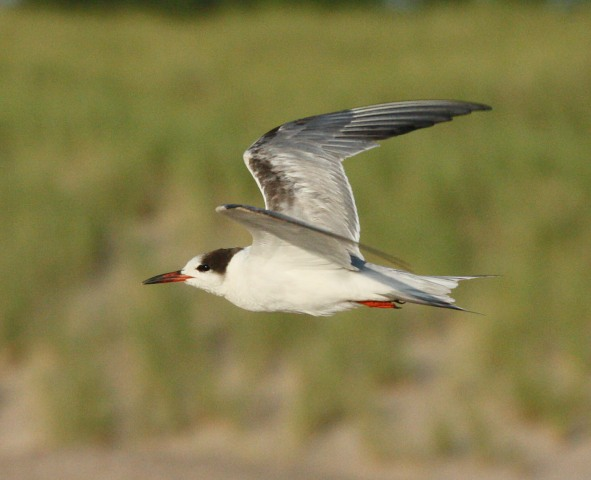 Common Tern (1st summer) Photo #2